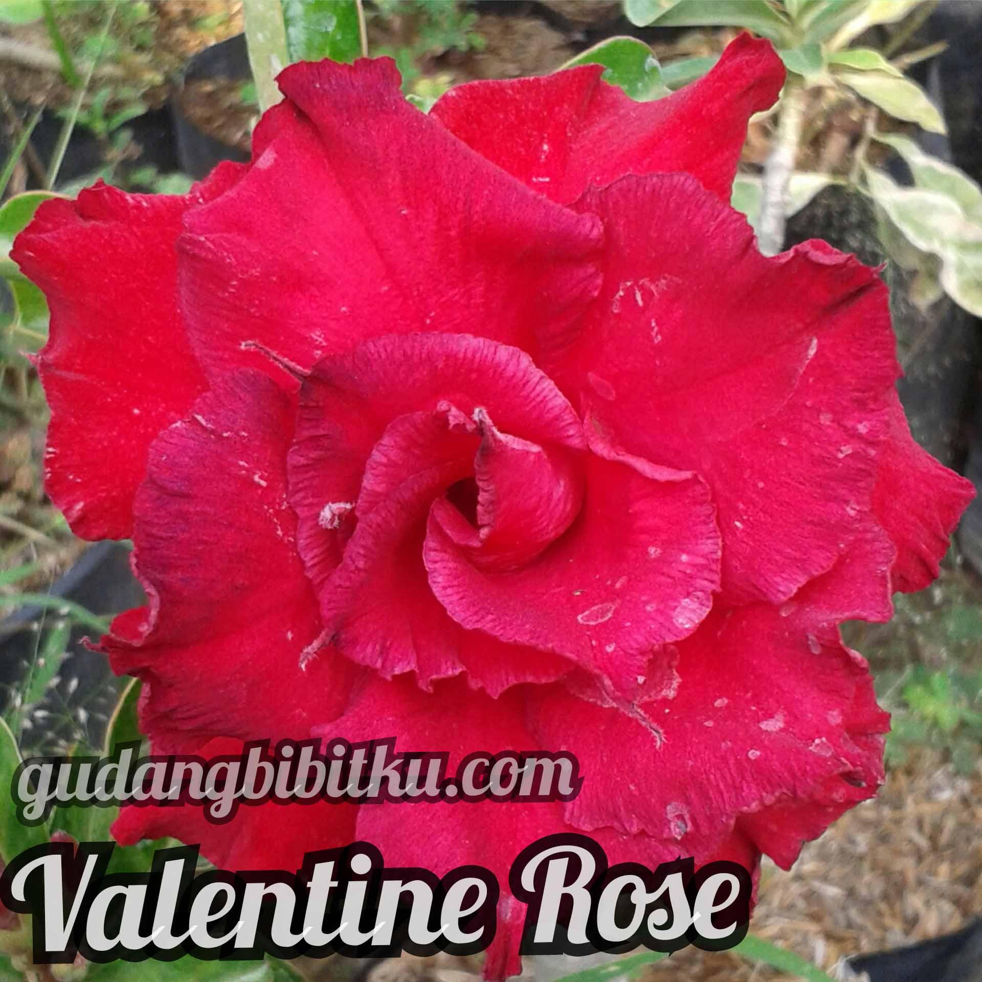 jual bibit adenium valentine rose