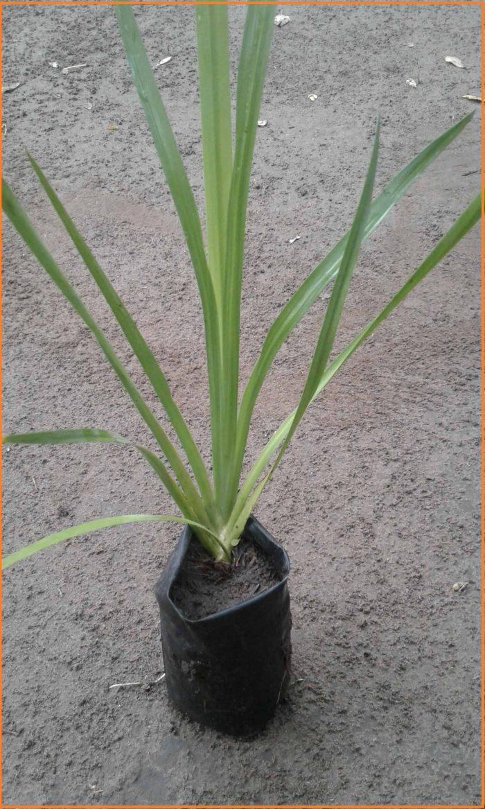 jual tanaman dlingo wulung di kediri