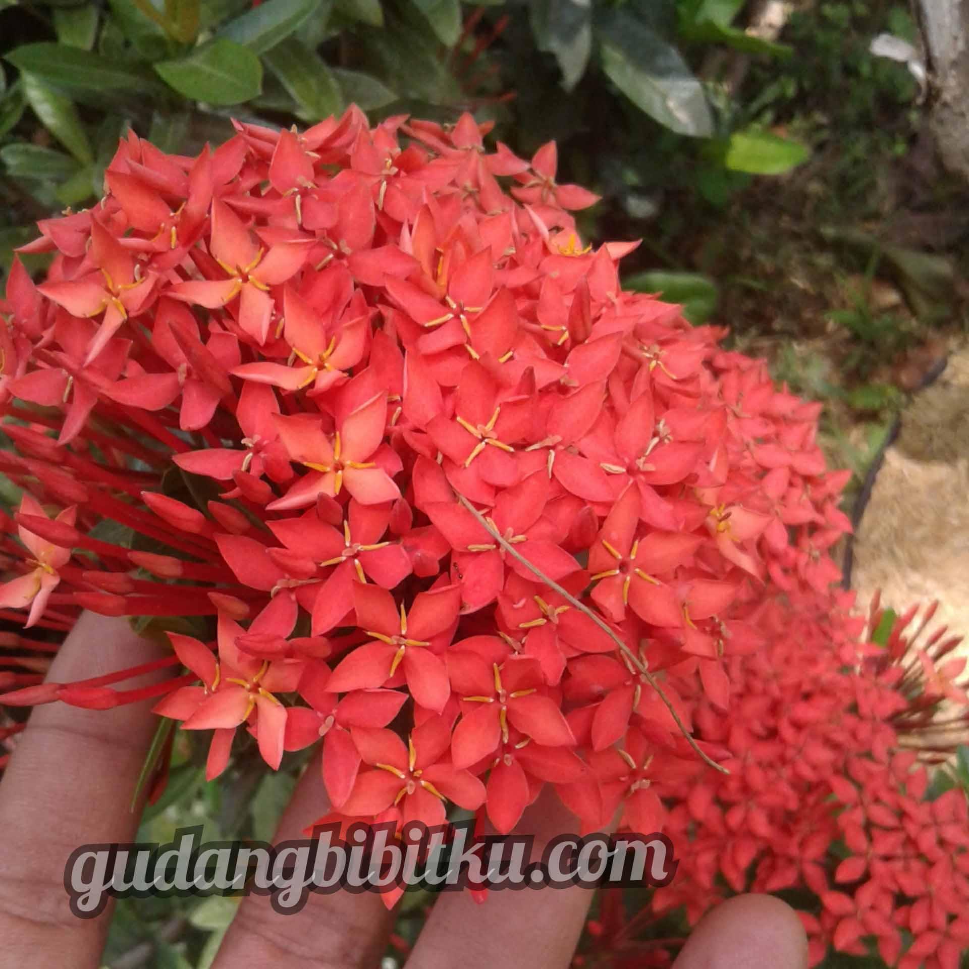 contoh gambar bunga asoka merah