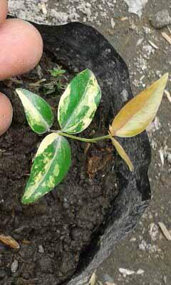 contoh gambar dewandaru variegata