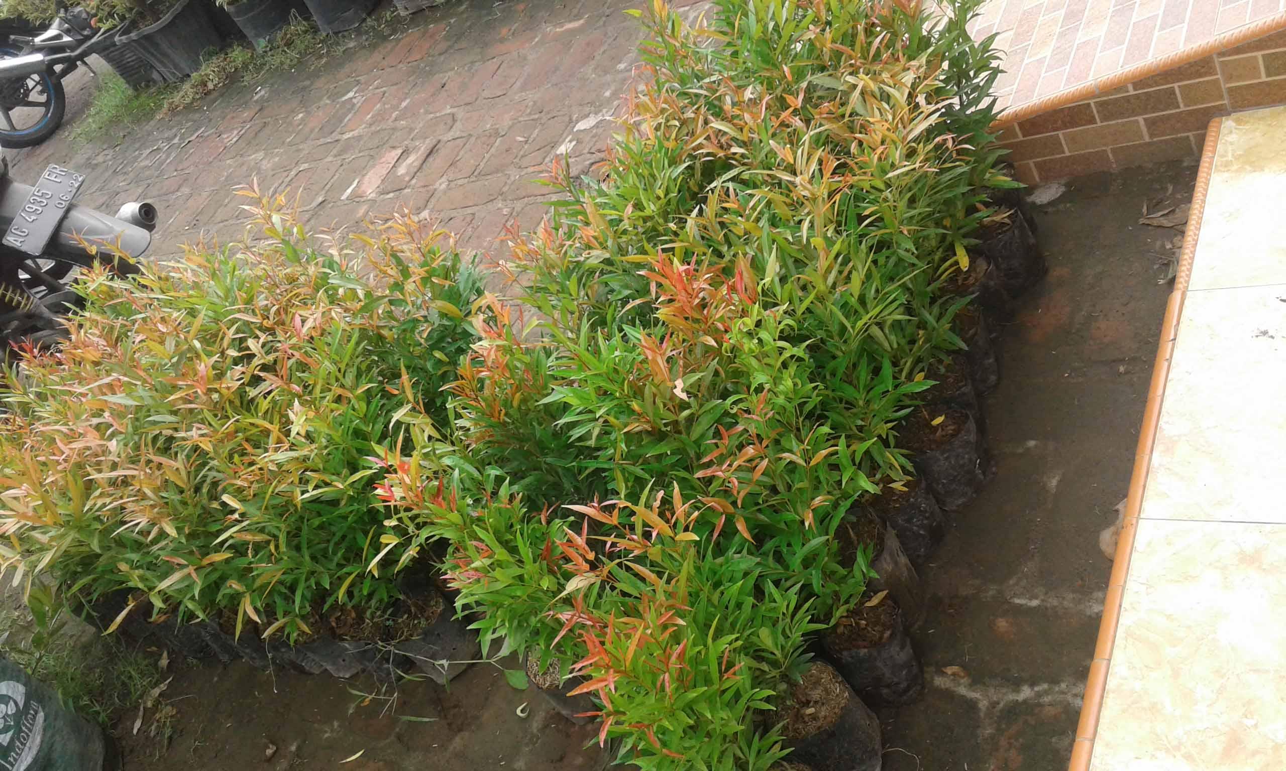 jual pohon pucuk merah besar unggulan