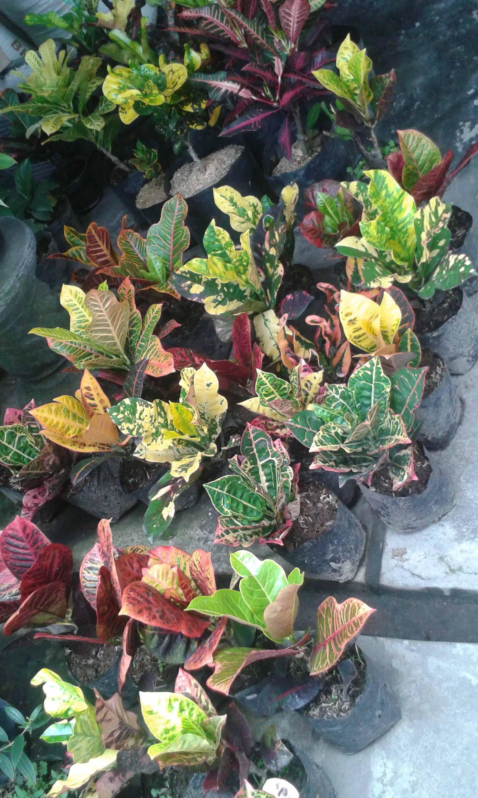 jenis tanaman puring dan harganya