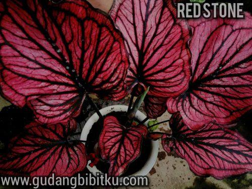 perpaduan keladi merah dan hitam