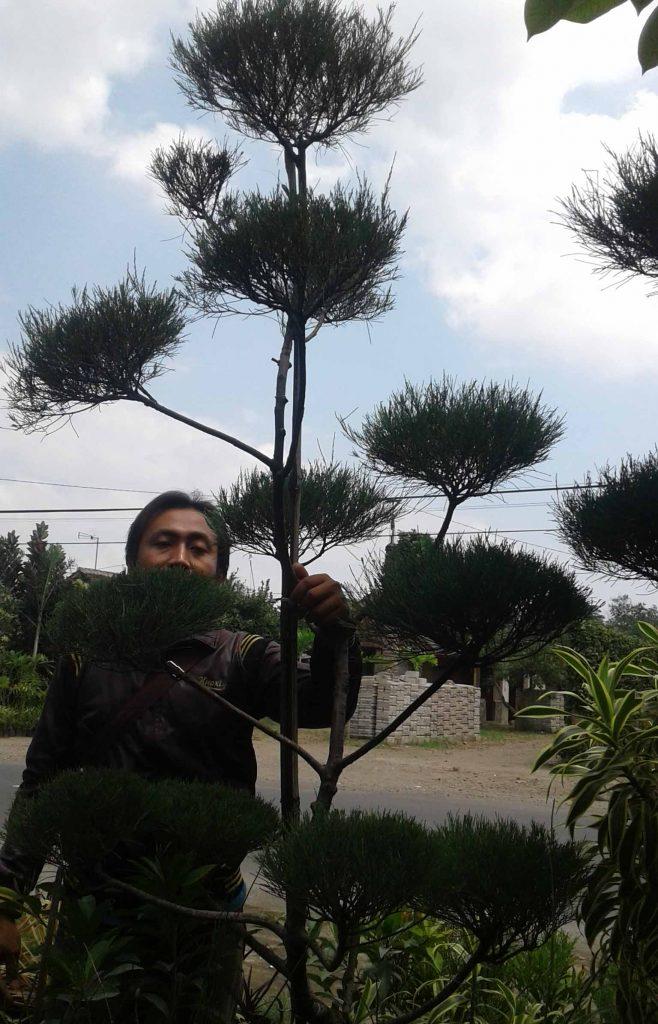 cara melebatkan daun bonsai cemara udang
