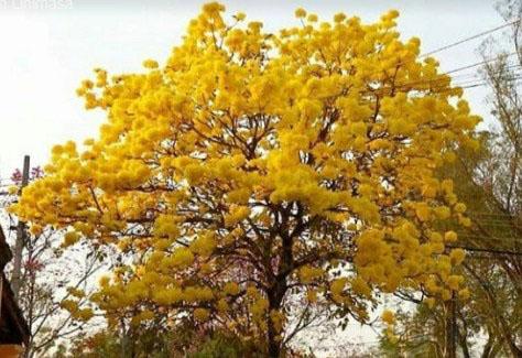 manfaat pohon tabebuya