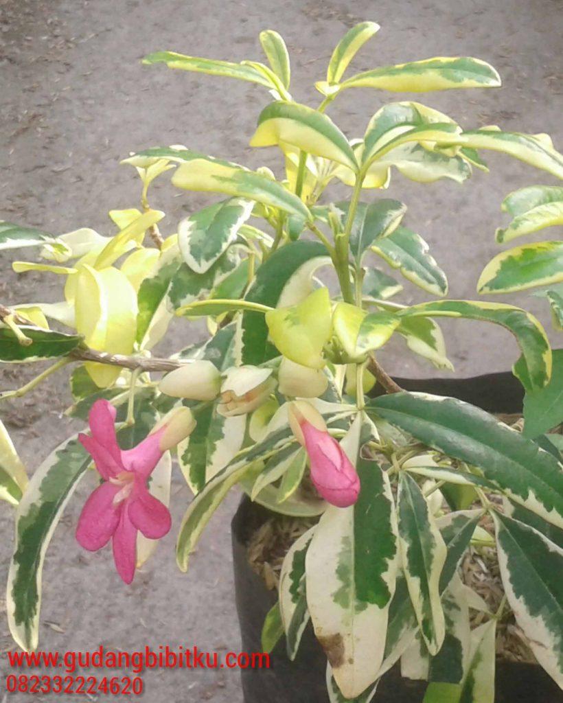 jual tanaman hias jakarta