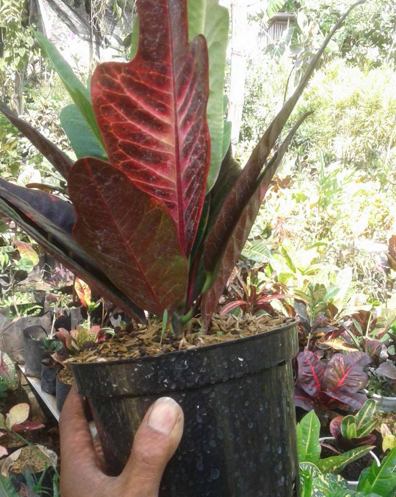 ciri ciri tanaman puring