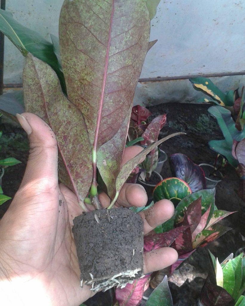 tanaman puring pendek