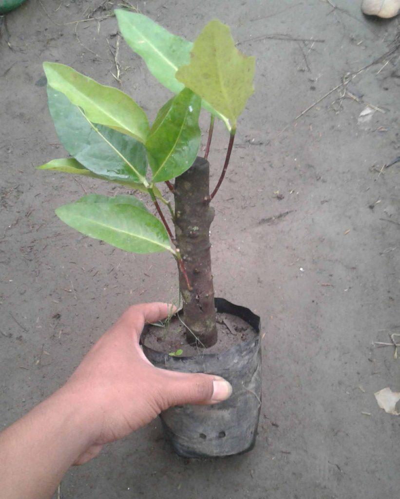 contoh tanaman yg bisa di stek batang