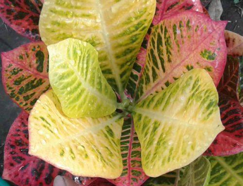 Memperbanyak tanaman puring dan cara merawatnya