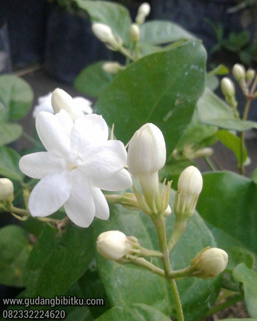 Harga tanaman bunga melati