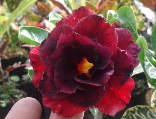 10 Jenis Nama Nama Bunga Yang Termasuk Tanaman Hias Outdoor
