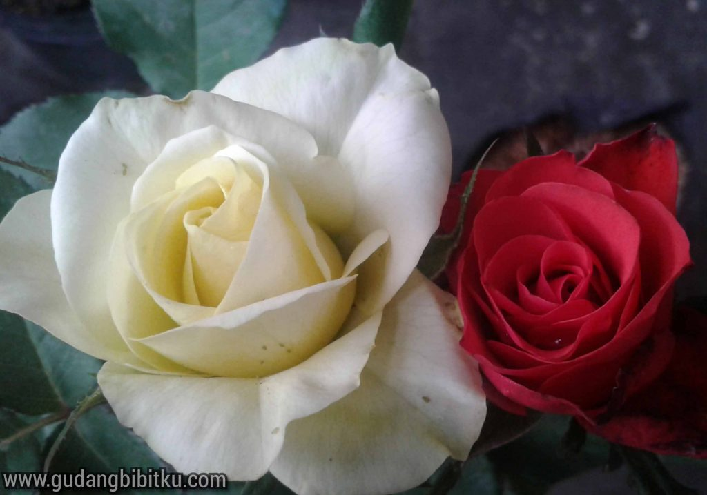 Aneka bunga hias