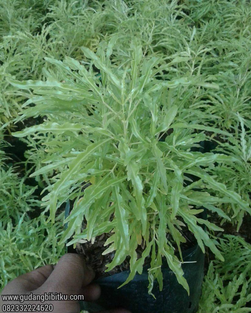 Bunga brokoli hijau