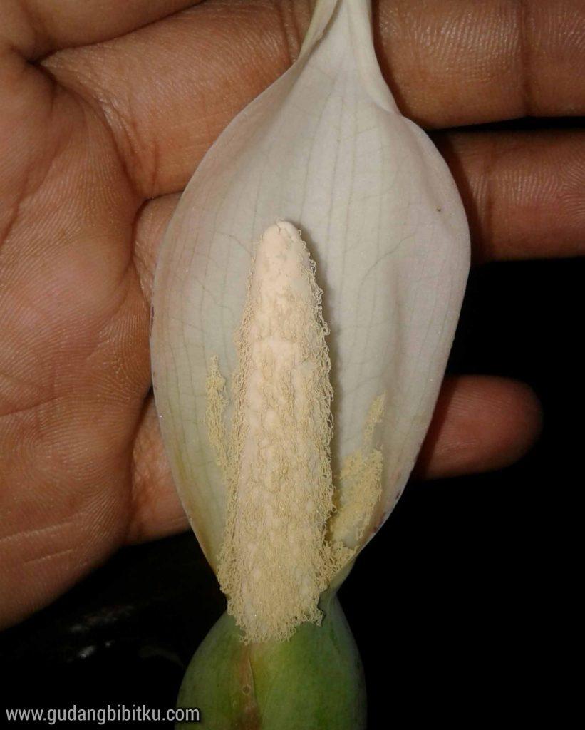 Serbuk bunga keladi
