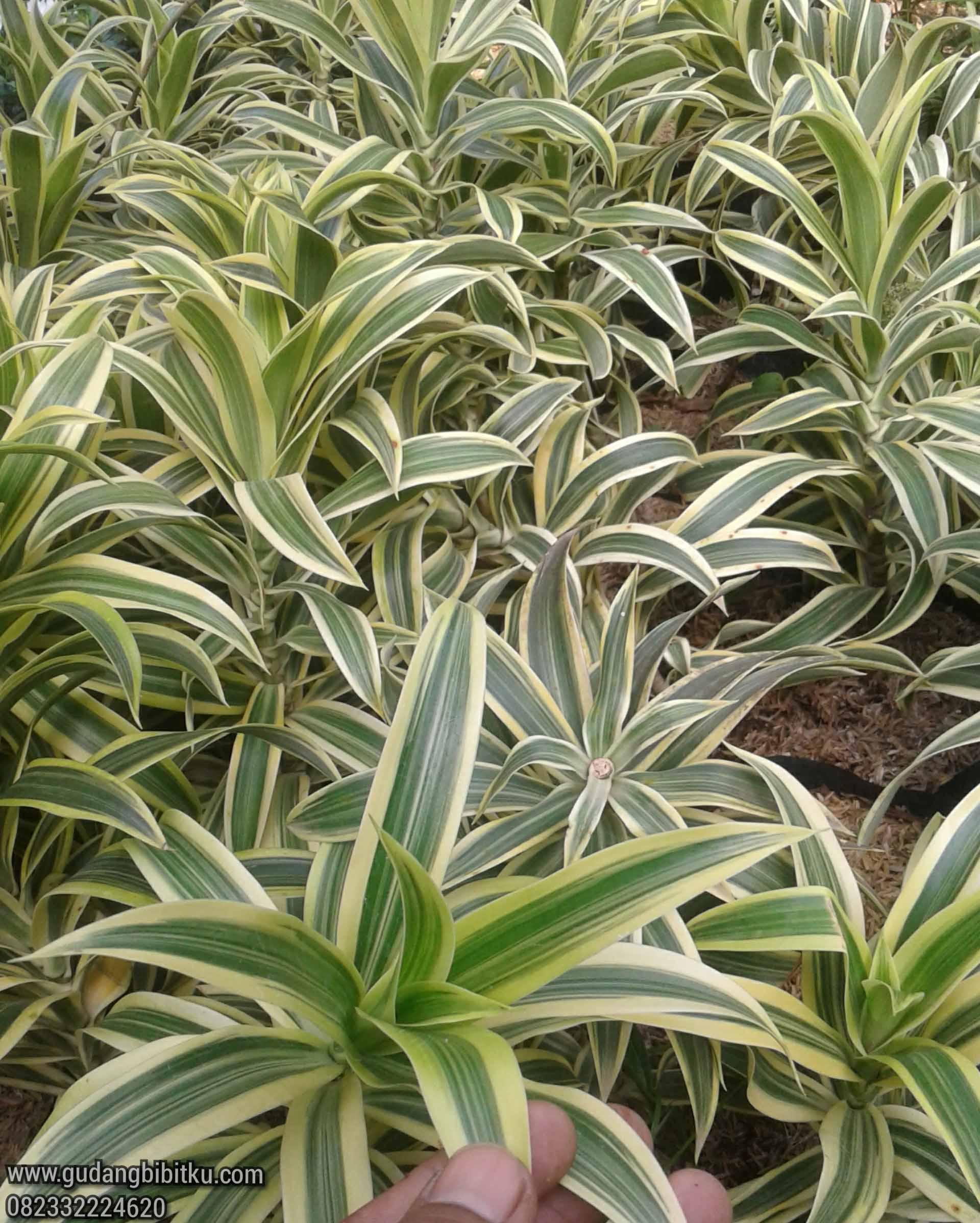 manfaat tanaman song of india