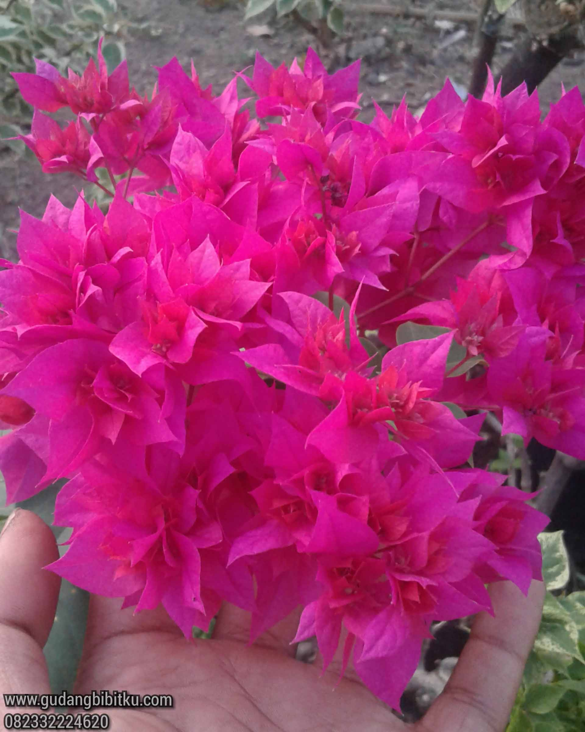 Jenis bunga bougenville