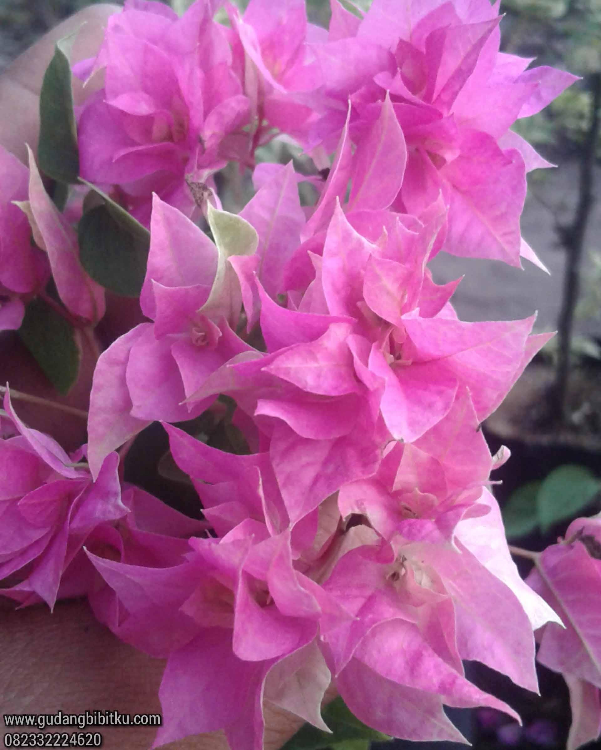 Bougenville blossom pink