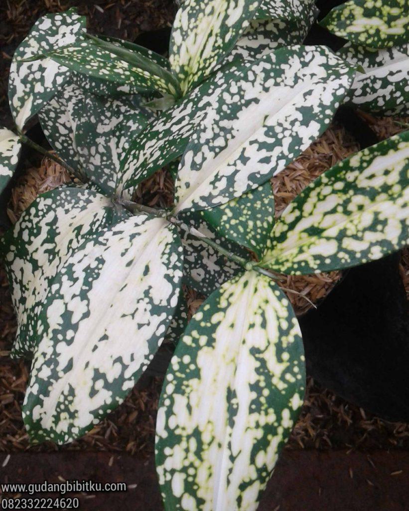 Bunga florida beauty