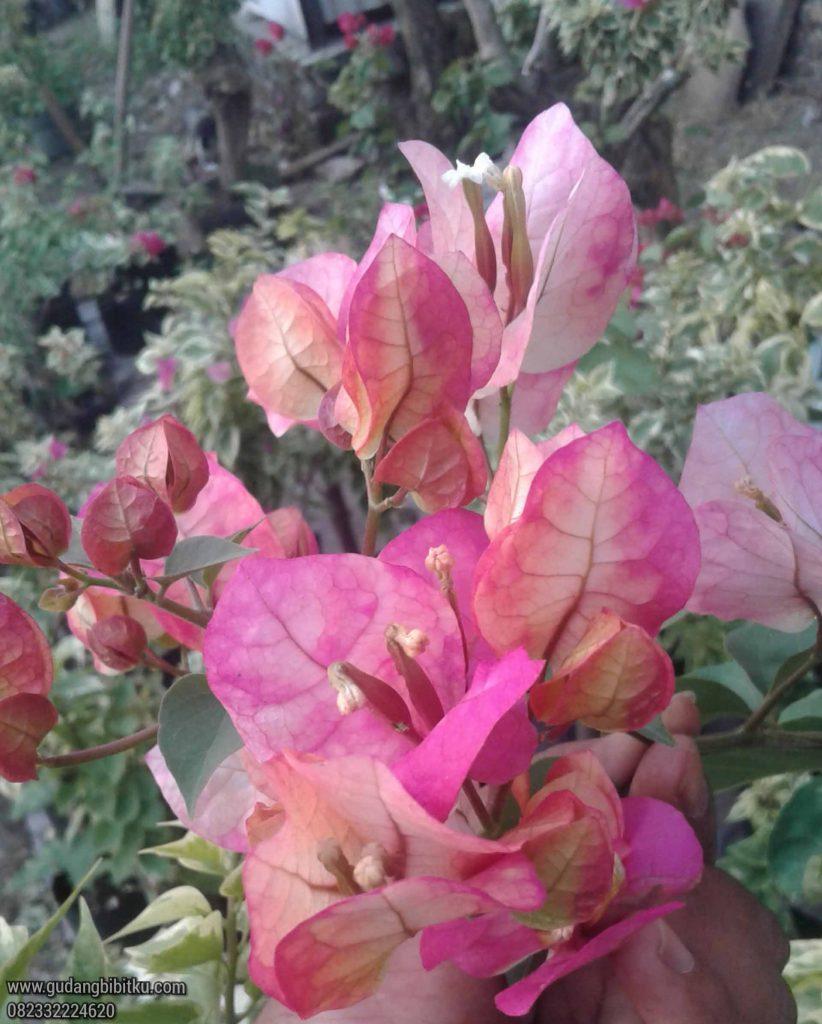 Bunga kertas citra india
