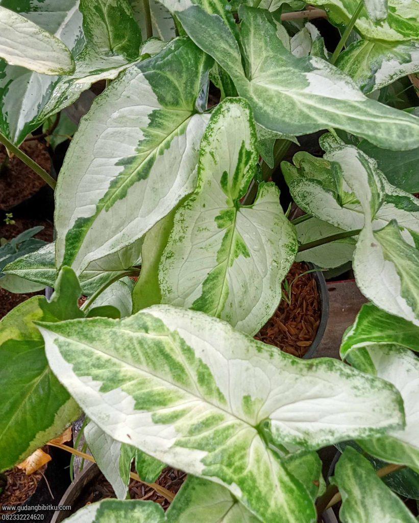 Syngonium varigata putih