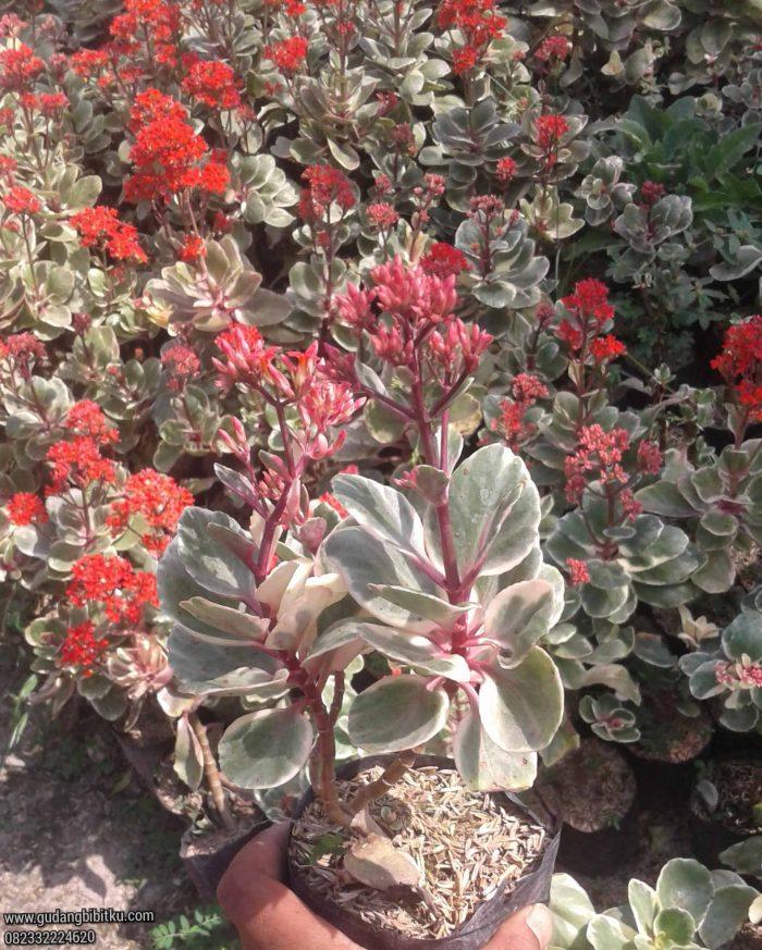 Manfaat bunga calandiva