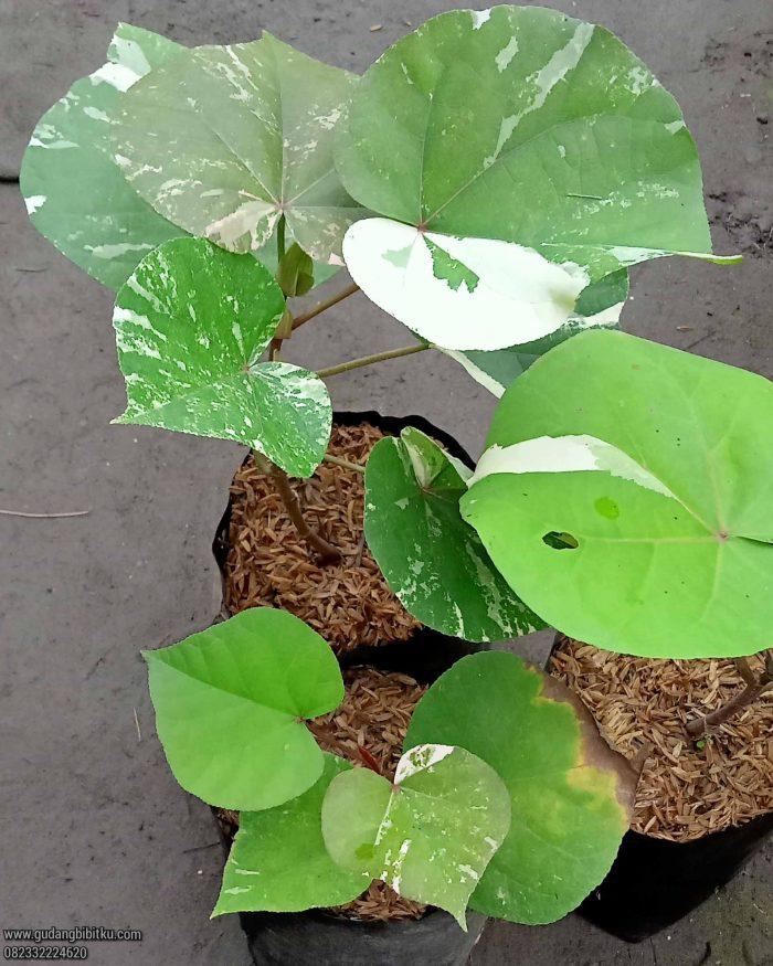 Waru varigata bonsai